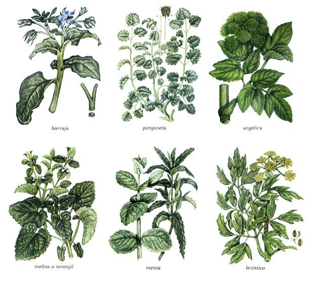 Hierbas arom ticas estrag n artemisia dracunc for Tipos de plantas aromaticas